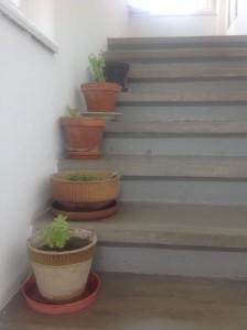 Shora: bazalka posvátná (horní dva květináče), kalísie vonná, brahmi, rýmovník