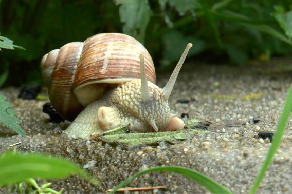 Hlemýžď valašský. Toho asi u sebe na pozemku nepotkám, ale v podstatě budu vděčná za jakéhokoli. Hlemýždi žerou slimáky! Foto: archiv MM