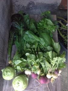 Denní sklizeň (shora zleva): čínská hořčice, špenát, bylinky (kerblík, petrželka), kedlubny, ředkvičky. Foto: Sláma v botách