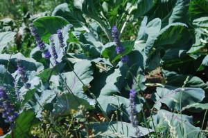 Levandule, kedlubny a zelí - d.-cká trojka. Foto: Sláma v botách