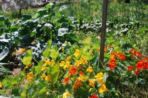 Vpředu barevné lichořeřišnice (květy jíme), to vysoké za ní je růžičková kapusta, někde mezi tím mi rostou kedlubny, zelí, brokolice...
