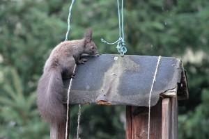Krmítko pro veverky? Ne, jenom chodí užírat ptákům. Foto: MIKUMI
