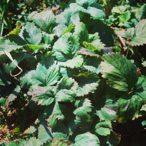 Časem se objevily na čím dál více rostlinách. Foto: Sláma v botách