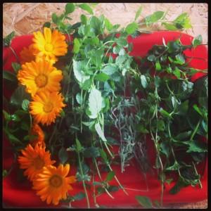Pravidelné bylinkobraní. Zleva: oregáno, měsíček, meduňka, svatolína, máta, perila. Foto: Sláma v botách