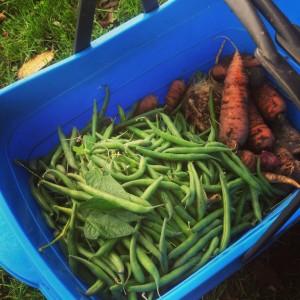 Zelené fazolky sklízím i v říjnu ve velkém. Foto: Sláma v botách
