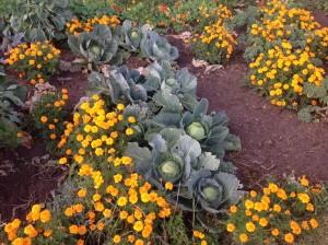 Do volných míst, kde jsem už sklidila, přijde zelené hnojení - hořčice. Foto: Sláma v botách