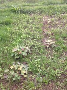Batáty mi rostou, ale neodvažuju se tipovat, co se asi odehrává pod zemí. Bude nějaká sklizeň?? Foto: Sláma v botách