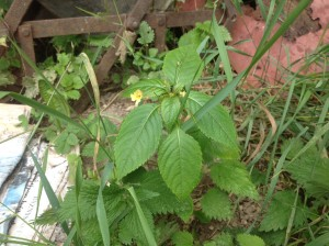 Netýkavka na naší zahradě samozřejmě nechybí. Zralá semena vystřeluje do dálky, takže s reprodukcí problém nemá. Přírodě ulevím tím, že její lusky sním (až dorostou). Foto: Sláma v botách