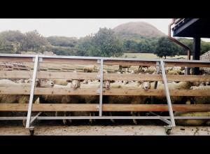 Víte, kolik to je sedm set ovcí? Hodně! Foto: Kate Du