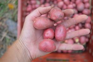Moje nepřekonatelné brambory o velikosti mexického dolaru. Foto: Sláma v botách