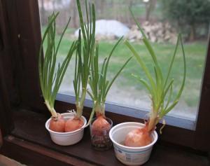 Tenhle trik mi poradili na Valašsku. Nať z naklíčených cibulí je na konci zimy/začátkem jara vítanou zeleninou. Foto: Mikumi