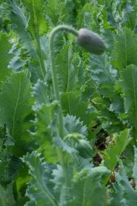 Makovička plná budoucího papání i semínek pro sklizeň v příštím roce. Mák semenařit je opravdu snadné. Foto: Sláma v botách