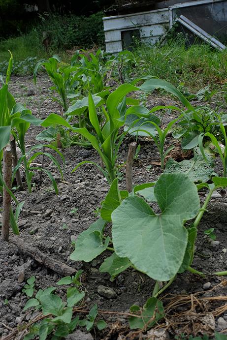 Tykve a kukuřice, spolu a navždy. Foto: Sláma v botách