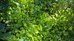 A takhle to vypadá, když se v záhonu vysemení špenát. O druhou sklizeň sezony je bezpracně postaráno. Foto: Sláma v botách