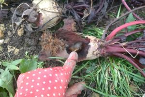 Byla by to byla bývala krásná červená řepa, kdyby ji byli bývali nebyli sežrali nějací příživníci. Foto: Sláma v botách