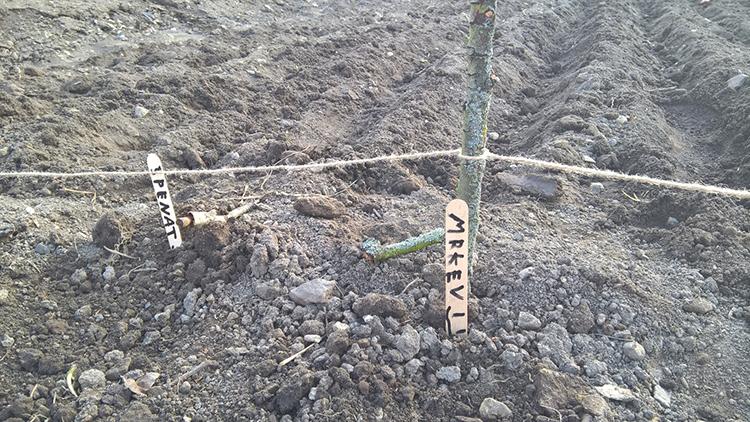 K označení řádků posloužily dětem dřevěné doktorské špachtle. Dají se i kompostovat. Foto: Sláma v botách