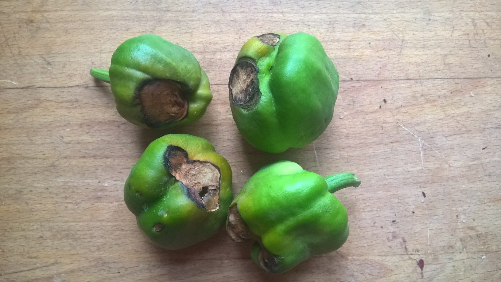 Takhle vypadá abiptická nekróza květního konce plodu neboli projev nedostatek vápníku u paprik. Foto: Sláma v botách