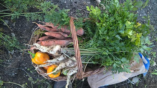 Sklizeň zdravých paprik až na samém konci sezony. Foto: Sláma v botách